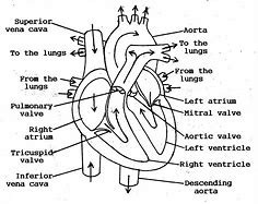 Hd wallpapers diagram of the human heart worksheet hd wallpapers hd wallpapers diagram of the human heart worksheet ccuart Images