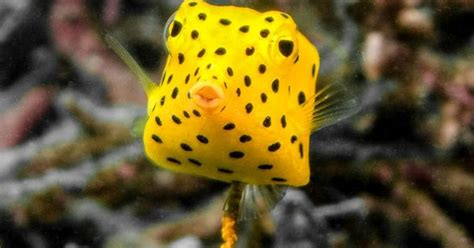 cute cube yellow boxfish ostracion cubicus   cube