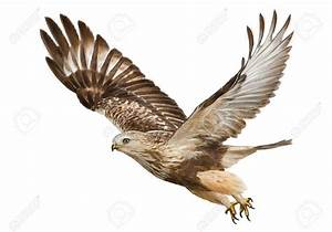 Hawk Flying Drawing At Getdrawingscom Free For Personal