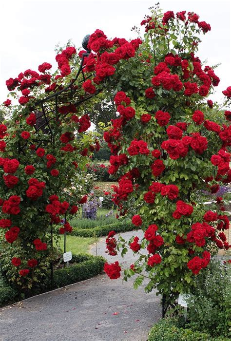 363 Best Images About Rose Bushes And Climbing Roses On