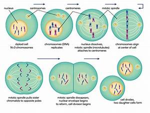 Biology Mitosis Cell Cycle Diagram