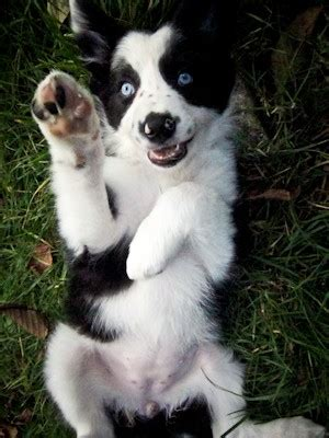 Blue Eyed Border Collie Puppy For Sale Redruth Cornwall Petshomes
