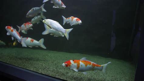 aquarium pour carpe koi koi fish footage page 9 stock