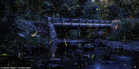 Vincent Brady's photographs of fireflies lighting up the ...