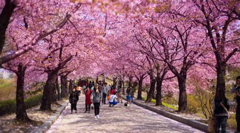 Wuling Backgrounds by The Cherry Blossom Festival Korea S Top Three