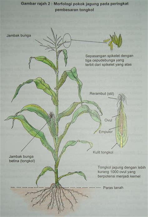 pokok jagung