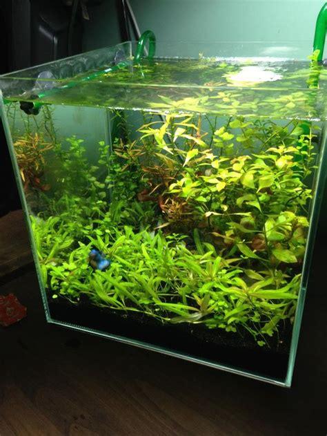 aquascaping freshwater aquarium 7g cube low tech plants creeping gold creeping