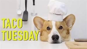 Taco Tuesday - Topi The Corgi