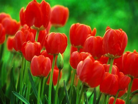 tulip pictures tulip flower pictures flowers wallpapers red tulips flowers wallpapers
