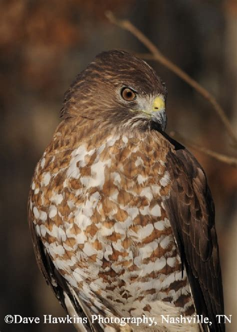 best 28 types of hawks in tennessee discover birds