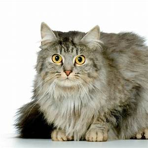 Domestic Longhair Breed Information and Photos | ThriftyFun  Domestic