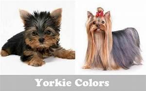 Yorkie colors - Yorkshire terrier coat colors | Yorkiemag