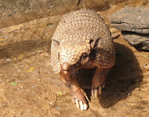 pet armadillo armadillos as pets animals library