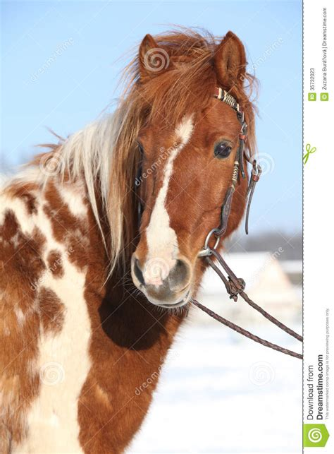 pony skewbald nice winter bridle rest cold preview