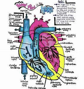 Blood Flow In The Heart  Right Atrium  U2014 U0026gt  Right Ventricle