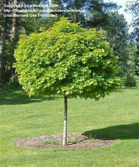 acer platanoides globosum plantfiles pictures european maple maple globosum acer platanoides by willmetge