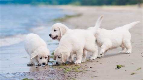 Puppy Desktop Background by White Puppies At Wallpaper For Desktop And