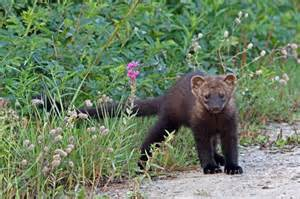 fischer cat fishers also known as fisher cats and pekans are members