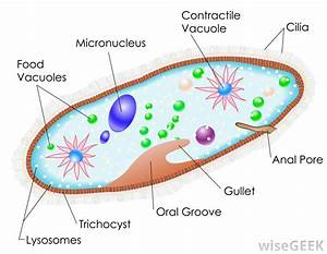 What Is Paramecium   With Pictures