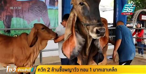 ควัก 2 ล้าน ซื้อพญาวัวในตำนาน หูยาว อวัยวะเพศ ทั้ง 2 ข้างเท่ากัน : PPTVHD36