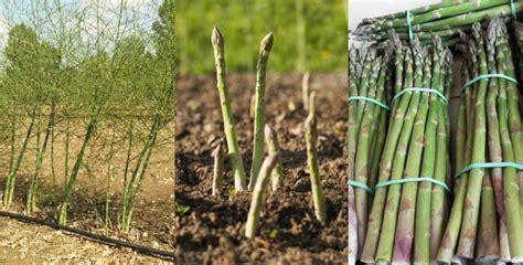 cuisiner les asperges vertes culture de l asperge verte asperges vertes du producteur