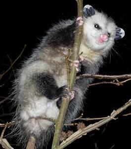 Evil Possum