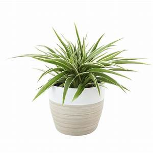 Costa, Farms, Chlorophytum, Comosum, Spider, Live, Indoor, Plant, In, Decor, Planter-6spiderbammod