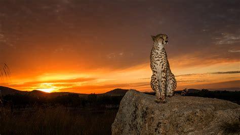 animal cheetah  cheetah   large cat  subfamily