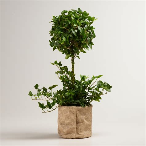 topiary trees live live ivy topiary plant in burlap world market