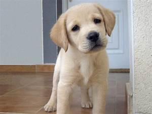 Lab puppy | animalz | Pinterest