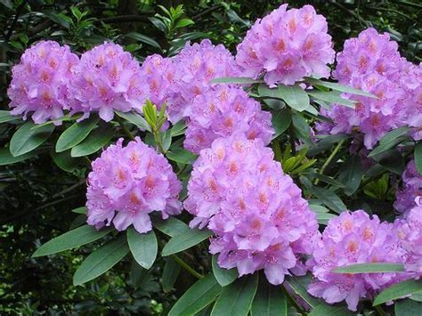 rhododendron planting tips housekeeping for rhododendrons gardeners tips
