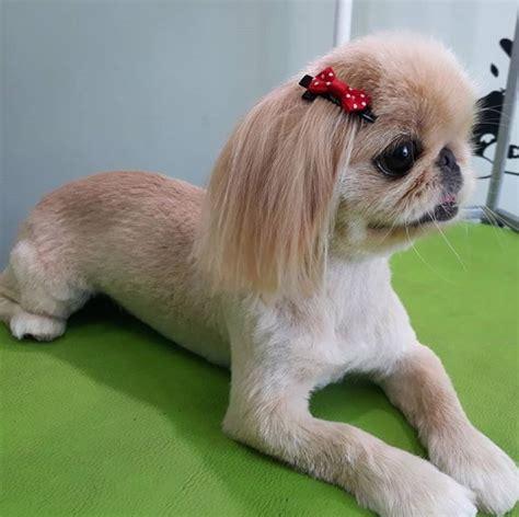 pekingese haircuts  dog lovers  paws