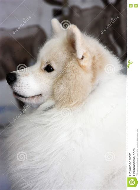 white fluffy dog stock photo image  white nose fluffy