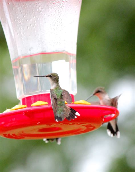 sugar ratio for hummingbird food sugar