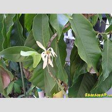 Very Fragrant Flower, What's This Plant? Bananasorg