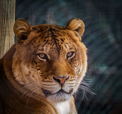 Best Liger Images Pinterest Wild Animals Big