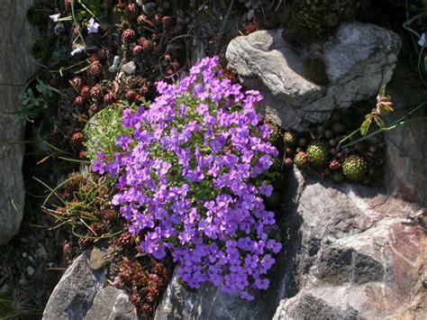 Pflanzen Steinbeet. Stunning Houseleek Sempervivum With