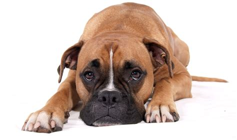 top 15 stunning boxer dogs best wallpapers