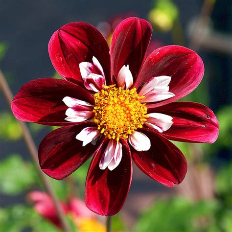 flowers dahlia pictures dahlia flower pictures blue and red dahlia flowers
