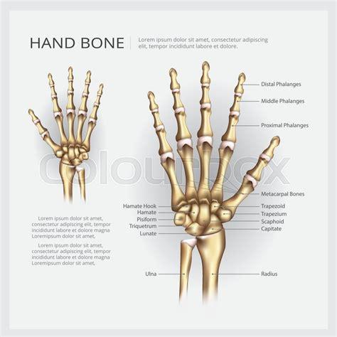 hand bone vector illustration stock vector colourbox