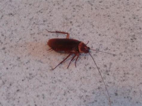 lesbienne dans la cuisine gros insecte trouvé dans le tiroir de la cuisine picture