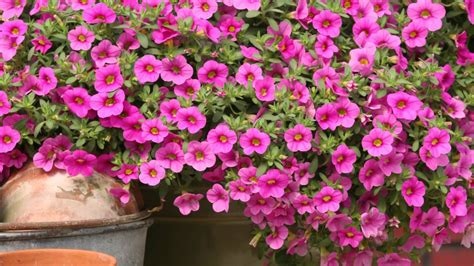 million bells production tips for growers million bells calibrachoa youtube