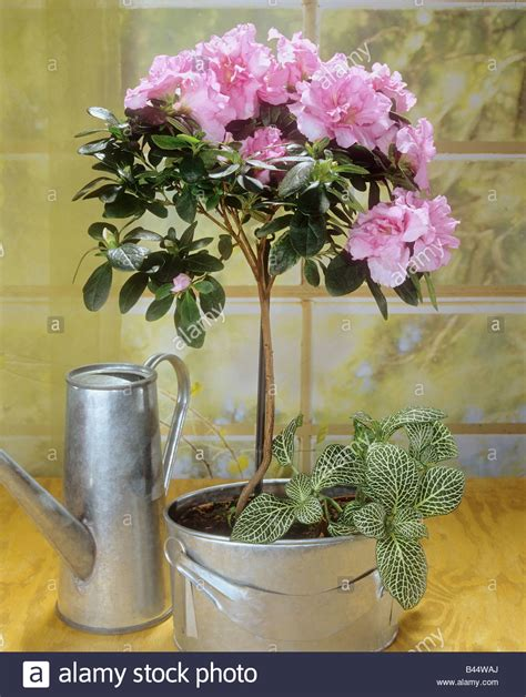 planting rhododendron in pots 28 images gap photos garden plant picture library rhododendron