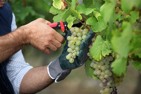trim grape vines better to be pruned than removed michael q pink