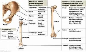 A Series Of Three Bones Showing The Basic Bone Markings