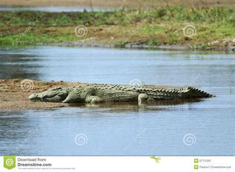 coccodrillo del nilo immagine stock immagine  safari