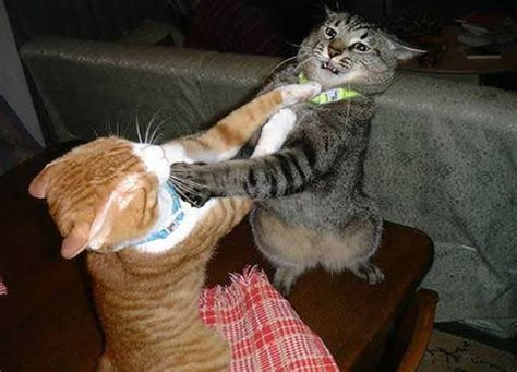 Cat Fight Meme - two cats fighting for real blank template imgflip