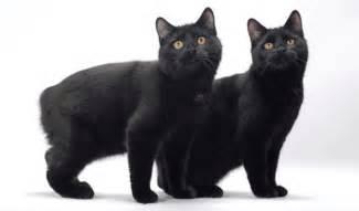 black cat breeds beautiful black cat breeds purrfect cat breeds