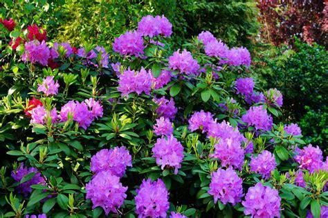 Wann Kann Rhododendron Schneiden by Rhododendron Schneiden Wann Und Wie Richtig Schneiden