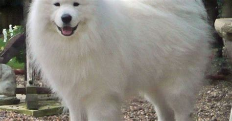 the samoyed is a breed of dog that takes its name from the